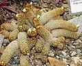 Mammillaria elongata var. rufocrocea Kiev1.jpg