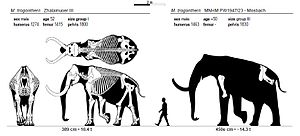 Quaternary extinction event - Steppe Mammoth (Mammuthus trogontherii) dimensions