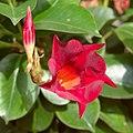 Mandevilla sanderi red 1.jpg