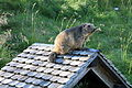 Marmota bobak - (Kazakhstan, Ukraine, Russia) - Rochers-de-Naye, Switzerland, 2009.jpg
