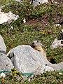 Marmotte sp.jpg