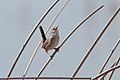 Marsh wren (6337872691).jpg