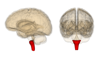 Adventist youth honors answer bookhealth and sciencebrain and be able to label a diagram or a model of a human brain including the following parts and tell briefly what each part doesedit ccuart Image collections