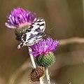 Melanargia galathea - Schackbräde på vägtistel - Cirsium vulgare-0778 - Flickr - Ragnhild & Neil Crawford.jpg