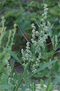 <i>Chenopodium album</i> Species of flowering plant in the goosefoot family Chenopodiaceae