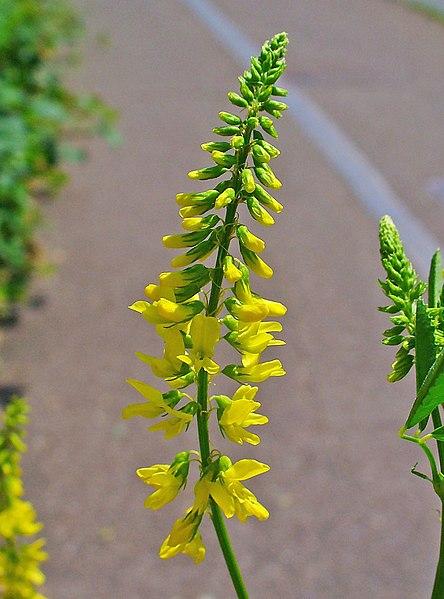 fleurs du melilot officinal