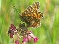 Melitaea phoebe - Knapweed fritillary - Шашечница коровяковая (41109254752).jpg