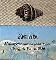 Melongena corona johnstonei IMG 5441 Beijing Museum of Natural History - Natural History Museum of Guangxi.jpg