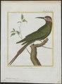 Merops superciliosus - 1700-1880 - Print - Iconographia Zoologica - Special Collections University of Amsterdam - UBA01 IZ16800317.tif