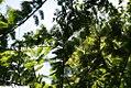 Metasequoia glyptostroboides 8zz.jpg