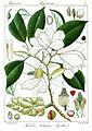 Michelia nilagirica Rungiah.jpg