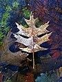 Michigan Oak Leaf in water w Spagnum.jpg