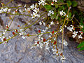 Micranthes virginiensis - Virginia Saxifrage.jpg