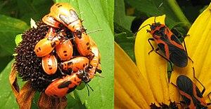 Hemimetabolism - Nymphs and adults of Lygaeus turcicus, Hemiptera