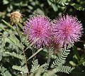 Mimosa rupertiana2.jpg