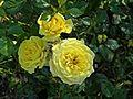 Mini-Flora - Golden Trust 1 (b).JPG