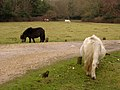 Miniature ponies grazing near Fritham, New Forest - geograph.org.uk - 108936.jpg
