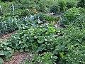 Minnesota veggie garden.JPG
