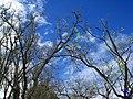 Mirando al cielo entre las ramas - panoramio.jpg