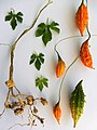 Momordica charantia (feuilles, fruits, tige et racines).jpg