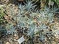 Monadenium guentheri - Botanischer Garten München-Nymphenburg - DSC08147.JPG
