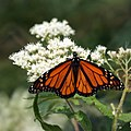 Monarch Butterfly from Cape May (5005068629).jpg