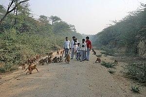 Rhesus Macaque Macaca mulatta in Chameli Van a...