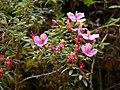 Monochaetum sp Costa Rica 1.jpg