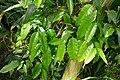 Monodora myristica-Jardin botanique Meise (2).jpg