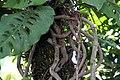 Monstera adansonii 5zz.jpg
