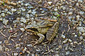 Moorfrosch im Naturpark Schremser Hochmoor 2014 06.jpg