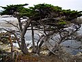 More coast trees - panoramio.jpg