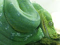 Morelia viridis 6.jpg