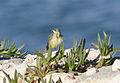 Motacilla flava - Western Yellow Wagtail - Sarı kuyruksallayan 02.jpg