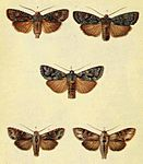 Moths of the British Isles Series2 Plate013.jpg