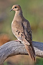 A mourning dove, Wisconsin's symbol of peace