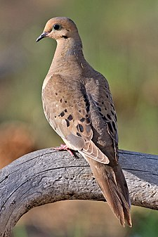 Mourning dove for 2 little birds sat on my window