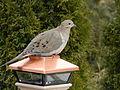 Mourning Dove Zenaida macroura Ontario 7.jpg