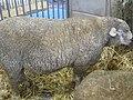 Mouton île-de-France.jpg