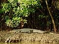 Mugger Crocodile Crocodylus palustris Zuari Goa by Dr. Raju Kasambe DSCN0812 (2).jpg