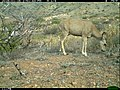 Mule Deer (Odocoileus hemionus) (24966574510).jpg