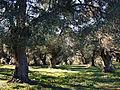 Muro oliviers à Murato.jpg