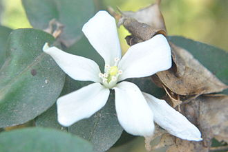 Murraya paniculata -  The flower of Murraya paniculata is found in Bana Bithan, Kolkata, West Bengal, India.