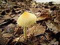 Mushrooms! Mill Trail Umstead NC SP 4228 (6641513385) (2).jpg