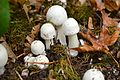 Mushrooms, Reed College 1.JPG