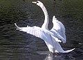 Mute.swan.flaps.arp.750pix.jpg