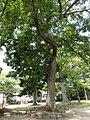 Mutsukunugi hachimangu goshinboku, Yamagata.jpg
