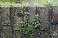 Muurbegroeiing op de Menenpoort te Ieper - 370221 - onroerenderfgoed.jpg