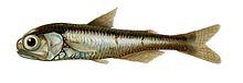 الأسماك الفانوسية Myctophidae