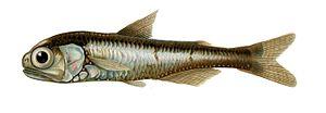 Lanternfish - Image: Myctophum punctatum 1